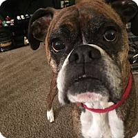 Adopt A Pet :: Goose - ADOPTION PENDING - Troy, MI