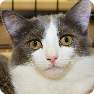 Domestic Shorthair Kitten for adoption in Irvine, California - Sasha