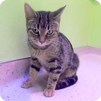 Domestic Shorthair Cat for adoption in Janesville, Wisconsin - Lady Igraine