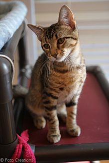 Domestic Shorthair Cat for adoption in Olive Branch, Mississippi - RAYNE (NELSON FOSTER)