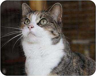 Domestic Shorthair Cat for adoption in Eldora, Iowa - Kristal
