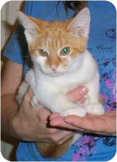 Domestic Shorthair Cat for adoption in Odenton, Maryland - Winky