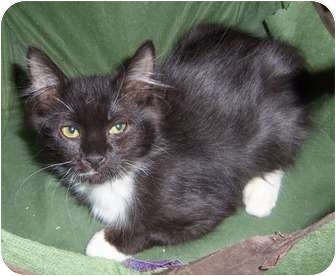 Domestic Mediumhair Kitten for adoption in Orlando, Florida - Whiska