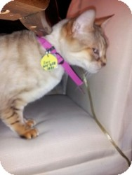 Bengal Cat for adoption in Columbus, Ohio - Zoey