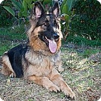 German Shepherd Dog Dog for adoption in Newport Beach, California - Hans