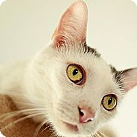 Domestic Shorthair Cat for adoption in Whitewater, Wisconsin - Gilbert