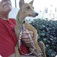 Adopt A Pet :: Rambo - San Diego, CA