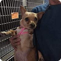 Adopt A Pet :: Coco Chanel - Richmond, VA