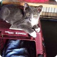 Domestic Mediumhair Kitten for adoption in Pasadena, California - Beckham