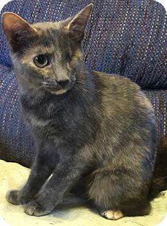 Domestic Shorthair Cat for adoption in Rustburg, Virginia - Pretty Girl Cat: Fostered