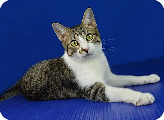 Domestic Shorthair Kitten for adoption in Carencro, Louisiana - Molly