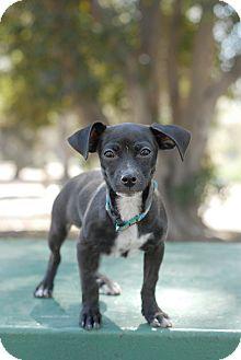 Dachshund/Chihuahua Mix Puppy for adoption in San Diego, California - Rupert