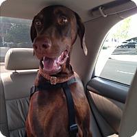 Adopt A Pet :: Matisse - Whittier, CA