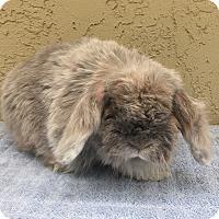 Adopt A Pet :: Eeyore - Bonita, CA