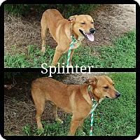 Adopt A Pet :: Splinter - Henderson, TN