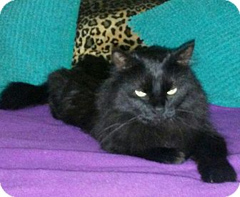 Domestic Longhair Cat for adoption in Las Vegas, Nevada - Beauty