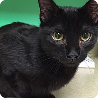 Domestic Shorthair Cat for adoption in Morganton, North Carolina - Vader