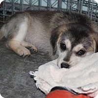 Husky Mix Puppy for adoption in Rutledge, Tennessee - Moohshine
