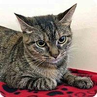 Domestic Shorthair Cat for adoption in Gahanna, Ohio - Ozzlynn