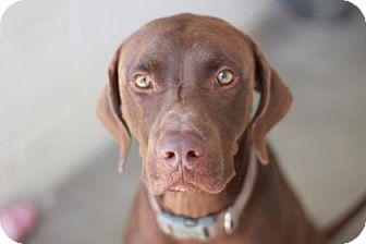 German Shorthaired Pointer/Labrador Retriever Mix Dog for adoption in Kyle, Texas - HENRIK