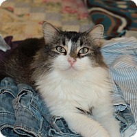 Domestic Longhair Cat for adoption in McKinney, Texas - Sapphire