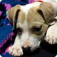 Adopt A Pet :: CARMELLA - HAGGERSTOWN, MD