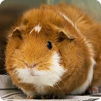 Guinea Pig for adoption in New Orleans, Louisiana - Carlita