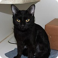 Domestic Shorthair Cat for adoption in Greensboro, North Carolina - Hanna