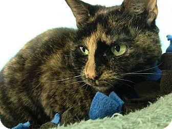 Domestic Shorthair Cat for adoption in Fairfax, Virginia - Sadie