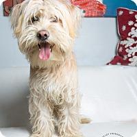 Adopt A Pet :: Z Man - Inglewood, CA