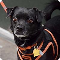 Adopt A Pet :: Trigger - New York, NY