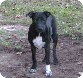 Labrador Retriever Mix Dog for adoption in Kingwood, Texas - Whitefoot