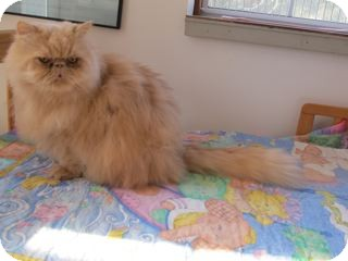 Persian Cat for adoption in Davis, California - Beauregard
