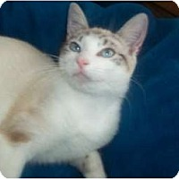 Adopt A Pet :: SASHA SIAMESE MIX - Little Neck, NY