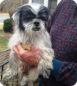 shih tzu rescue va radford va shih tzu meet eli a dog for adoption 8566
