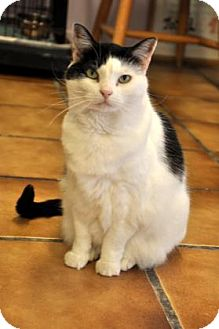 Domestic Shorthair Cat for adoption in Northbrook, Illinois - Razz
