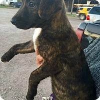 Adopt A Pet :: Aura - Aurora, CO