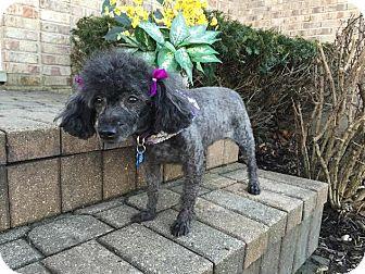 Poodle (Miniature) Dog for adoption in Algonquin, Illinois - Rosie