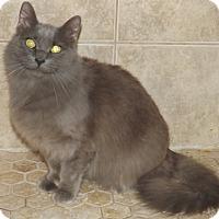 Domestic Longhair Cat for adoption in Mesa, Arizona - Foxy