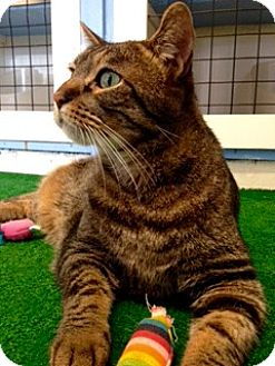 Domestic Shorthair Cat for adoption in Novato, California - Scooter