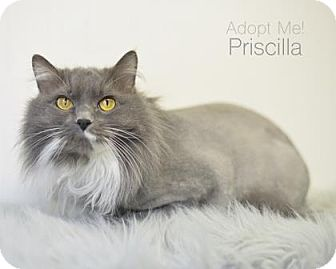 Domestic Longhair Cat for adoption in West Des Moines, Iowa - Priscilla