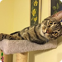 Domestic Shorthair Cat for adoption in East Stroudsburg, Pennsylvania - Noah