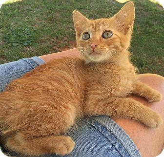 Domestic Mediumhair Cat for adoption in Salisbury, North Carolina - Oscar