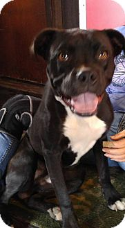 Boxer Mix Dog for adoption in Jarrell, Texas - Zeus