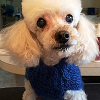 Poodle (Toy or Tea Cup) Dog for adoption in Dover, Massachusetts - Snow