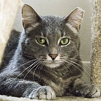 Domestic Shorthair Cat for adoption in Columbus, Ohio - Lady Elaine