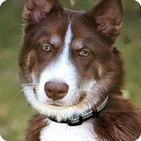 Adopt A Pet :: BLAZE VON BALDWYN - Los Angeles, CA