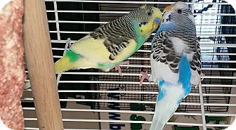 Budgie for adoption in Shawnee Mission, Kansas - Bindo