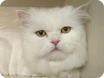 Persian Cat for adoption in Pasadena, California - Jack