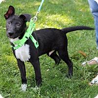Adopt A Pet :: Orlando - Harrison, NY